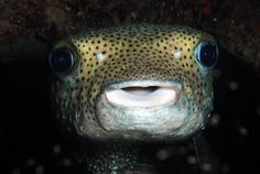 They all come out to play at night - Dive Master Ellis snapped a shot of a Large Puffer Fish during the recent night dive.