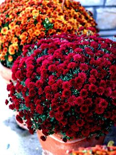 These are my two favorite colors for mums ! Can't wait to get some for the house!!