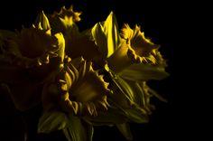 Daffodarks.  © Rick Burress, www.artistec.com
