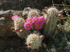 Echinocereus russanthus v. vulpis-cauda. Chihuahuan desert native. Ball/Clumping shape.
