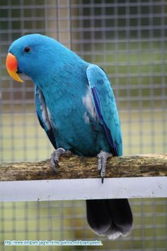 Blue mutation of male Eclectus Parrot.