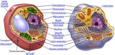 Plant and Aminal cells