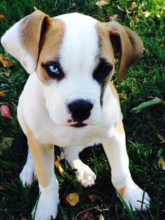 I just love my grand puppy Kanoa!!! American Bulldog