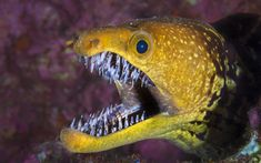 Fangtooth Morray Eel just stubbed his toe on the coffee table...