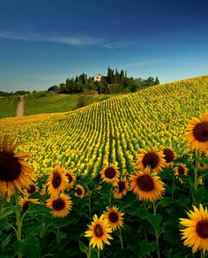 Sunflower Field near San Gimignano, Tuscany. I had found this place a few days earlier, and wanted to make a sunset photo. It turns out that the west is right behind the hilltop house and the shadows wouldn't allow for a good outcome. A few days later I was able to beat the sun and was at the plantation before it rose. I had to use flash, to compensate for the shadowed foreground. I also used a ND Grad filter, to balance the sky. I like this photo very much! I am glad some of you enjoy it as…