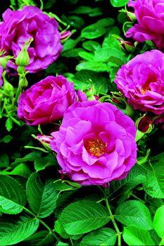 Wild Edric (Rose)