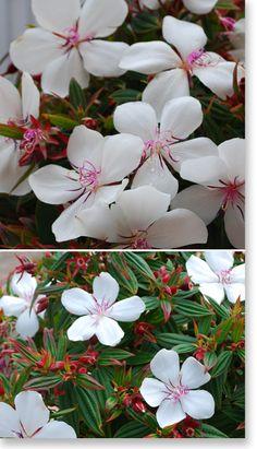 Plants Management Australia Pty Ltd Tibouchina white baby