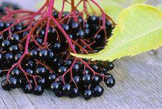 (Sambucus Nigra) - fekete bodza adoxaceae