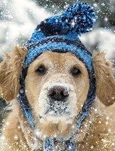 Nitas New Hat - Golden Retriever Christmas Card Team Husar Wildlife Photography http://www.amazon.com/dp/B017CJCKDG/ref=cm_sw_r_pi_dp_vgOwwb14TGVS5