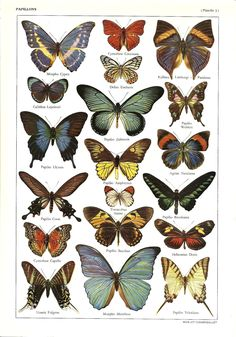 Vintage BUTTERFLIES illustration - Antique French dictionary print - 1950s. $11.00, via Etsy.