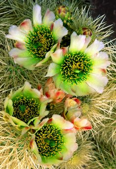 Cholla Cactus (Cylindropuntia fulgida) the jumping cholla, also known as the hanging chain cholla Cacti And Succulents, Planting Succulents, Cactus Plants, Planting Flowers, Garden Cactus, Herb Garden, Desert Flowers, Desert Plants, Green Flowers