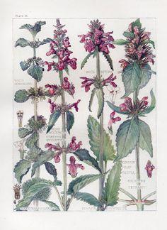 Common Hemp Nettle Wild Flower Botanical Print by Isabel Adams - Antique Print