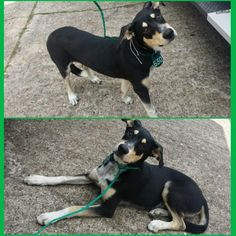 11/15/16-HOUSTON - SUPER URGENT - HIGH KILL FACILITY IS OVER CAPACITY -This DOG - ID#A471653 I am a male, tricolor Border Collie mix. The shelter staff think I am about 10 months old. I have been at the shelter since Nov 03, 2016. This information was refreshed 59 minutes ago and may not represent all of the animals at the Harris County Public Health and Environmental Services.