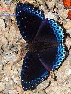 Beautiful Butterflies // Amazing Blue butterfly, Red butterfly, Yellow butterfly Source by Butterfly Pictures, Monarch Butterfly, Blue Butterfly, Butterfly Wings, Butterfly Mobile, Buckeye Butterfly, Butterfly Kisses, Butterfly Flowers, Beautiful Bugs