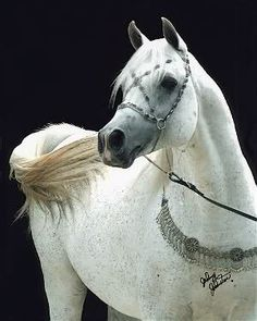 Beautiful white Arabian horse ~ I love the bridle and collar. The horse is pretty amazing too ;)