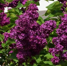Syringa vulgaris 'Monge' (Lemoine – One of the most highly sought after French lilacs with large fragrant clusters of deep reddish-purple single flowers from April into May.