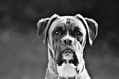 Beautiful beast, the Boxer