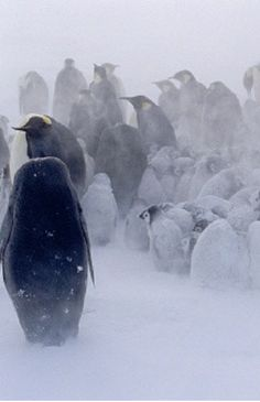 Amazing penguins. They endure in the earth' s harshest weather under deathly conditions, for love and loyalty to their mate and offspring. And are adorable in appearance.