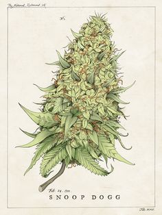 how to draw cannabis plant