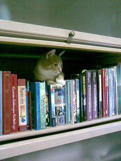Simba the bookshelf cat