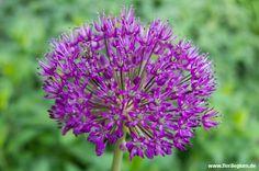 Spricht man von Zierlauch ist er meist gemeint: der Iranische Lauch oder Iran-Lauch (Allium aflatunense), manchmal auch als Purpur-Lauch bezeichnet. Diese Pflanze besticht durch ihre schöne, gleichmäßige Blütenkugel, die sich aus zahlreichen Einzelblüten zusammensetzt. Der Blütenstand kann gut einen Meter hoch werden, dadurch scheinen die lila Kugeln über dem Beet zu schweben, was den besonderen Reiz dieser Zierpflanze ausmacht. Die beliebteste Sorte ist 'Purple Sensation' und wie der…