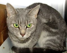 KILLED. Philly ACCT shelter. Baby Misu (A23631802) is feeling a little unsure right now. She was brought to the shelter when her family moved and could not take her along. She's a tiny gray tabby, only a year old and weighing barely 5 pounds. https://www.facebook.com/phillyurgents/photos/a.197572740275327.48925.196737460358855/817442158288379/?type=3&theater I'm so sorry, beautiful Baby, rest in peace... :(