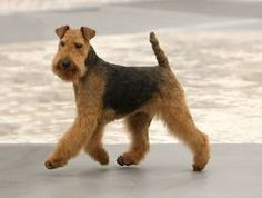 The Welsh Terrier. Items Similar To PRINT Welsh Airedale Terrier Dog Puppy Art Oil Painting Christmas Mary . Border Terrier Dogs Breed Information Omlet - The Golden Ways Welsh Terrier, Airedale Terrier, Pitbull Terrier, Terrier Galés, Chien Fox Terrier, Terrier Dog Breeds, Wire Fox Terrier, Terrier Puppies, Fox Terriers