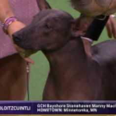 Manny Machado (The Dog) Won Best Of Breed Last Night At Westminster