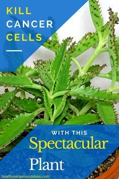 Cancer Cells Die Instantly When Consuming a Leaf of This Spectacular Plant
