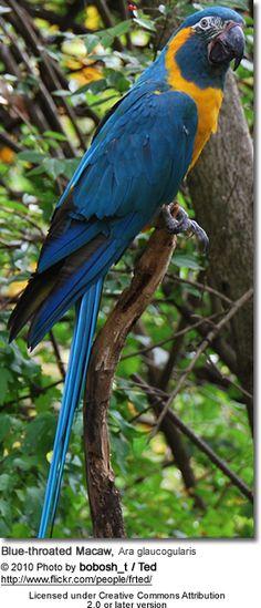 Blue-throated Macaw - Ara glaucogularis