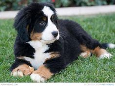 I WANT THIS DOG - It's a Bernese Mountain Dog/Newfoundland mix (Bernefie)