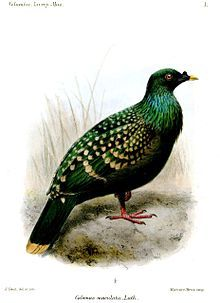 The Liverpool Pigeon or Spotted Green Pigeon (Caloenas maculata) is a presumed extinct pigeon species of unknown provenance.[1]