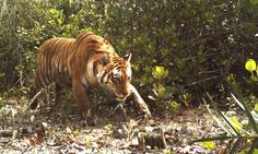 Tiger caught by camera trap in Sundarbans, India. Photo WWF.