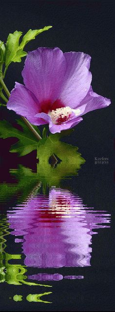 PINK FLOWER, WATER REFLECTION GIF
