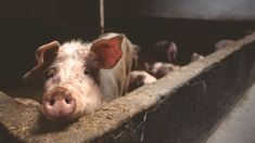 Thailand is working with other ASEAN countries in the prevention of the outbreak of African Swine Fever (ASF). An outbreak of African swine fever which is cu. Fondation Brigitte Bardot, Factory Farming, Animal Cruelty, Primates, Save The Planet, Animal Welfare, Animal Rights, Going Vegan, Farm Animals