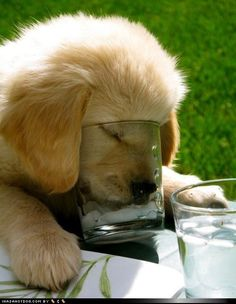 puppy trying to drink some ice water out of a glass