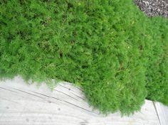 lawn chamomile