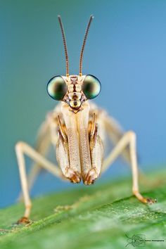 Mantisfly | Flickr - Photo Sharing!