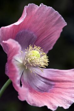 poppy botanical prints | Botanical Art: Pink Opium Poppy - Papaver Somniferum Giganteum Wall ...