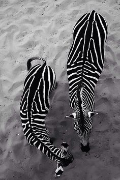 "Zebras / my first thought seeing this was ""sea shells"""