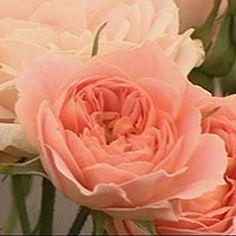 sweet dream patio rose
