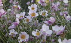 Die starkwüchsige Sorte  'Robustissima' (Anemone tomentosa) wurde vom Züchter Lemoine um 1900 selektiert. Da sie - wie der Name vermuten lässt - robust und ausbreitungsfreudig ist, eignet sie sich gut zum Verwildern unter größeren Gehölzen. Die langen Blütenstängel sind ideal für den Schnitt.