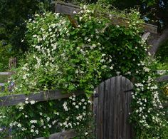 clematis paul farges summer snow pergola til skoven my. Black Bedroom Furniture Sets. Home Design Ideas
