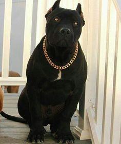 All Black Pitbull, Black Pitbull Puppies, Pitbull Dog Breed, Pitbull Terrier Puppies, Bully Dog, Cute Cats And Dogs, Big Dogs, Pitbull Americano, Guard Dog Breeds