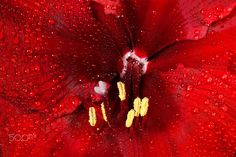 Red Amaryllis - Close-up of a red Amaryllis bloom. https://www.etsy.com/shop/Lichteditor  //  http://de.dawanda.com/shop/Lichteditor http://www.lichteditor.de  //