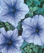 Blue Daddy Petunia Seeds