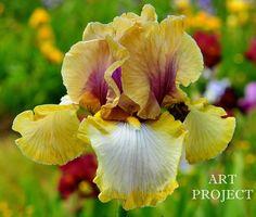 TB Iris germanica 'Art Project' (Zurbrigg, 1989)