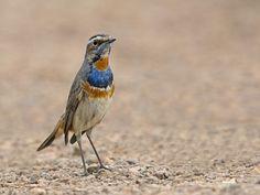 Siberian Bluethroat   3Q2A5866 | Flickr - Photo Sharing!