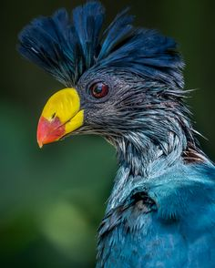 Great blue turacos by Craig Chaddock