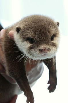 Otter pup hangs out in hoomins hands - September 2012 Otters Cute, Baby Otters, Scottish Fold, Animals And Pets, Funny Animals, Wild Animals, Otter Pup, Otter Love, Tier Fotos